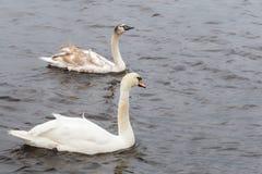 在一个冷的湖的两只美丽的白色天鹅在苏格兰 库存图片