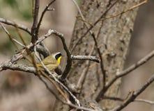 在一个分支栖息的一群公共同的黄色喉头鸣鸟在春天 免版税图库摄影