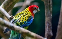 在一个分支的一只五颜六色的鹦鹉在动物园里 库存图片