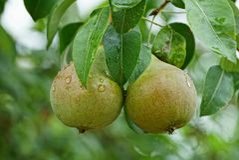 在一个分支的两个大湿绿色梨与叶子 免版税库存图片