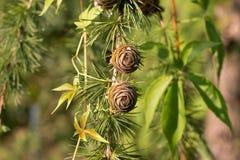 在一个分支的两个未成熟的杉木锥体 免版税库存照片