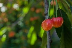 在一个分支的两棵桃红色成熟樱桃在绿色叶子中 免版税库存照片