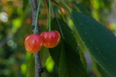 在一个分支的两棵桃红色成熟樱桃在绿色叶子中 免版税库存图片