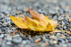 在一个分支的任意叶子在秋天 在秋天的五颜六色的自然 免版税库存照片