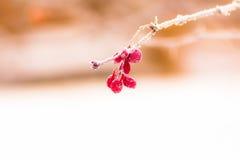 在一个分支的伏牛花莓果在霜和冰晶 免版税库存图片
