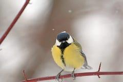 在一个分支的伟大的山雀在冬天公园 免版税图库摄影