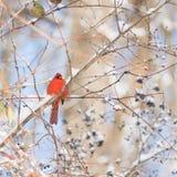 在一个分支的充满活力的红色主要开会在与红色的冬天和 图库摄影