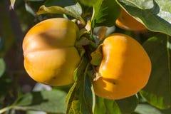在一个分支的双重成熟柿子在庭院里 免版税库存图片