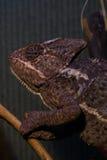 在一个分支的变色蜥蜴攀登在玻璃容器 免版税库存图片