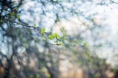 在一个分支的叶子在日落在春天停放 图库摄影