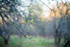 在一个分支的叶子在日落在春天停放 免版税库存图片