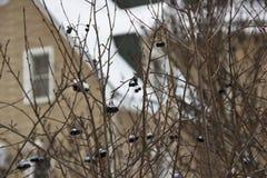 在一个分支的堂梨属灌木在冬天 库存照片