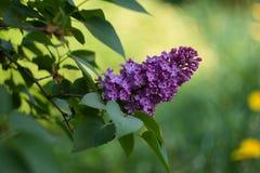 在一个分支的开花的紫色丁香在绿色背景在春天 库存照片