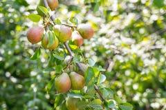 在一个分支的成熟梨在庭院里 免版税库存照片