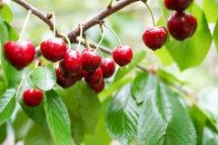 在一个分支的成熟樱桃在雨以后 r r 库存图片