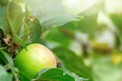 在一个分支的成熟的水多和美味苹果在雨以后 免版税库存照片