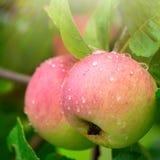 在一个分支的成熟的水多和美味苹果在雨以后 免版税库存图片