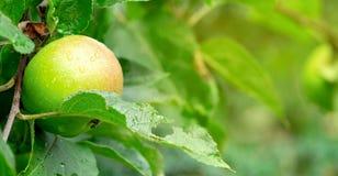 在一个分支的成熟的水多和美味苹果在雨以后 库存照片