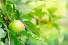 在一个分支的成熟的水多和美味苹果在雨以后 库存图片