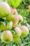 在一个分支的成熟苹果与雨滴下 库存图片