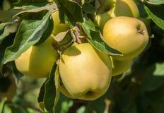 在一个分支的成熟苹果在果树园 免版税图库摄影