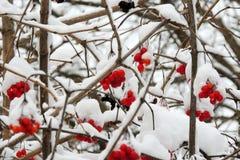 在一个分支的成熟荚莲属的植物在雪下在冬天 免版税库存图片