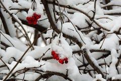 在一个分支的成熟荚莲属的植物在雪下在冬天 库存图片