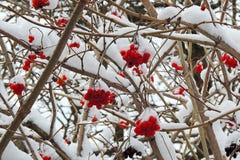 在一个分支的成熟荚莲属的植物在雪下在冬天 库存照片