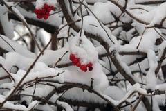 在一个分支的成熟荚莲属的植物在雪下在冬天 免版税图库摄影