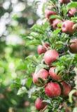 在一个分支的新鲜的成熟红色苹果在庭院里 从事园艺,有机,果子 免版税库存图片
