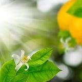 在一个分支的柠檬在庭院特写镜头 库存图片