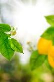 在一个分支的柠檬在庭院特写镜头 免版税库存照片
