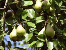 在一个分支的梨在一个美好的晴天 果子树丛在高加索 图库摄影