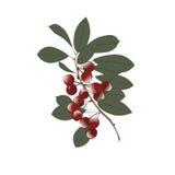 在一个分支的樱桃与叶子抽象派创造性的例证隔绝在白色背景传染媒介 免版税库存照片