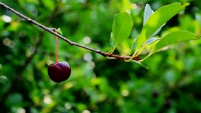 在一个分支的樱桃莓果在一个夏日