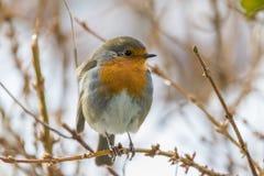 在一个分支的欧洲知更鸟画眉rubecula在冬天 免版税库存图片