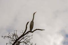 在一个分支的水禽Ardea灰质的身分在湖上 免版税库存照片