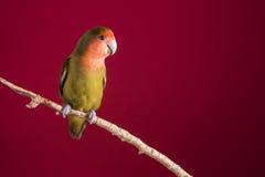 在一个分支的爱情鸟agapornis在红色背景 免版税库存照片