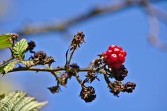在一个分支的狂放的莓与蓝天在背景中 库存照片