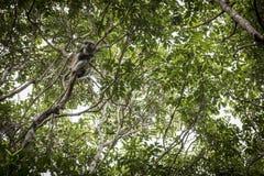 在一个分支的猴子在密林 免版税库存图片