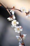 在一个分支的白色樱花花在春天 免版税库存照片