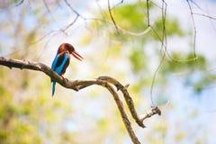 在一个分支的白色红喉刺莺的翠鸟restin与明亮,温暖 免版税库存照片