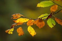 在一个分支的秋叶在森林里 库存图片