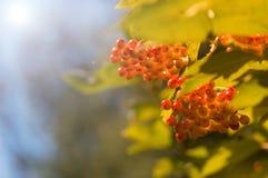 在一个分支的秋天红色莓果在阳光下 选择聚焦 库存图片