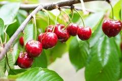 在一个分支的红色和甜樱桃在收获之前在初夏 库存照片