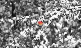 在一个分支的红色苹果在冬天 免版税库存照片