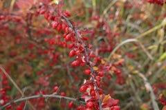 在一个分支的红色莓果在秋天 免版税库存图片