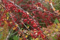 在一个分支的红色莓果在秋天 免版税库存照片