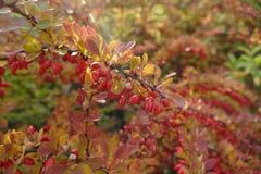 在一个分支的红色莓果在秋天 库存照片