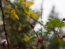 在一个分支的红色berrys与刺 免版税库存照片